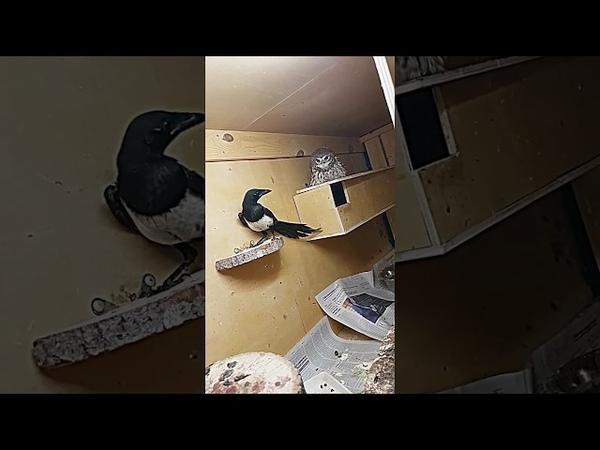 Сорока захотела пожить в домике у домовых сычей. Magpie and little owl