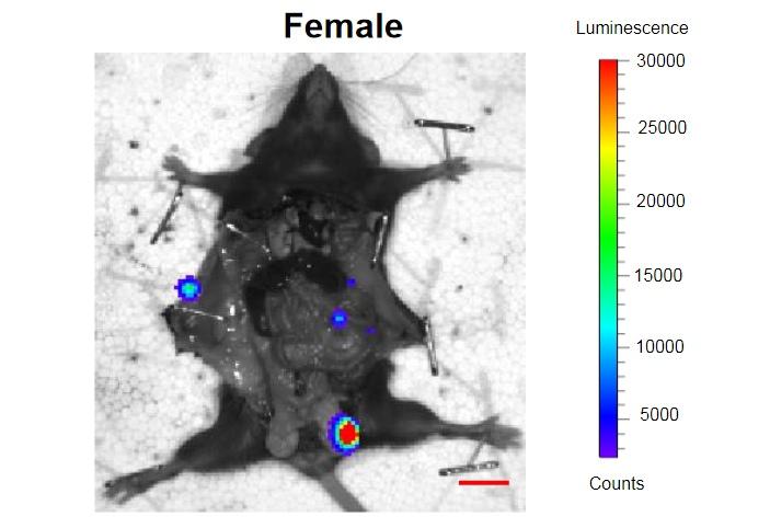 Препараты, разрушающие старые клетки, продлили жизнь мышам и начинают испытываться на людях