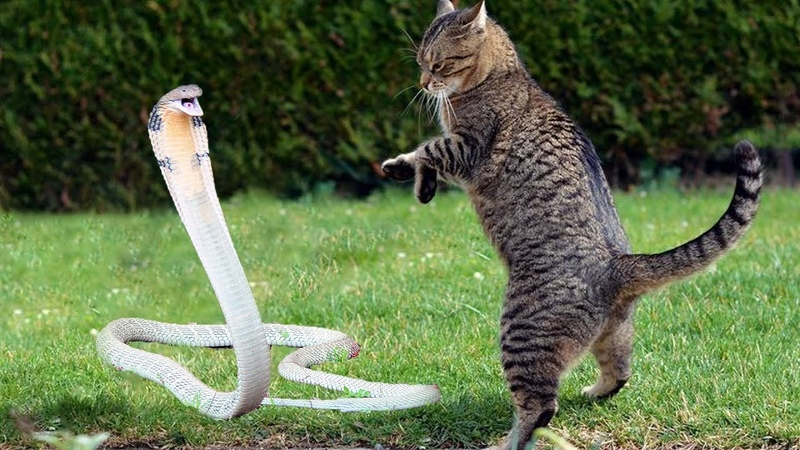 Cat Vs King Cobra Snake | Cat Tiger Attack King Cobra Real Fight | Tiger Attack Cobra Snake To Death