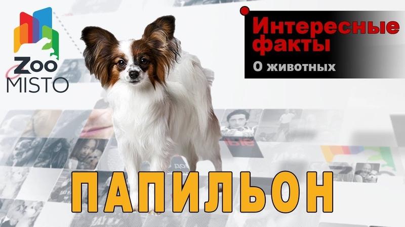Папильон - Интересные факты о породе | Собака породы папильон
