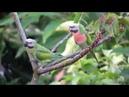 Red breasted parakeet Розовогрудый кольчатый попугай Psittacula alexandri