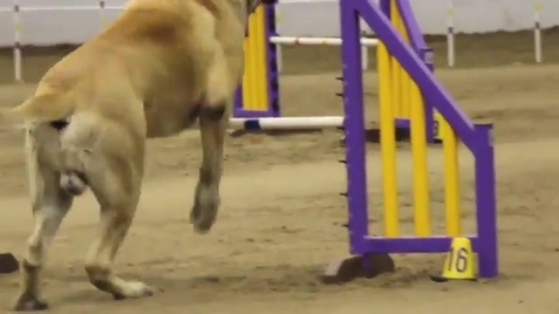 Mastiff in an agility contest