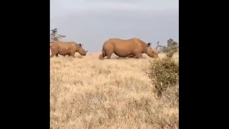 Rhino with an absolute unit of a horn.