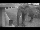 Камера наблюдения засняла как слон подбирает мусор и бросает его в урну