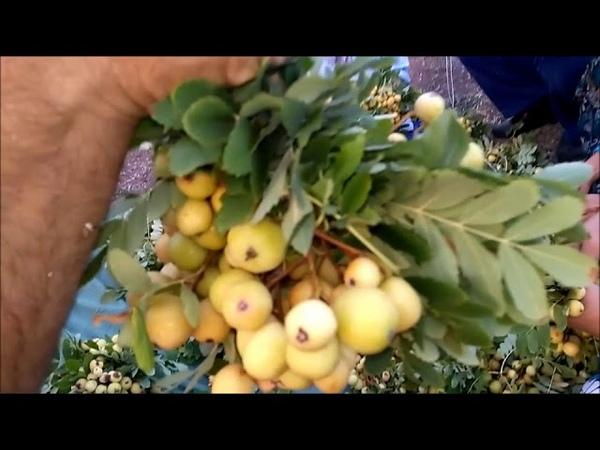 Merdivenle Üvez Meyvesi Toplama ve Meyveyi Kışa Hazırlama