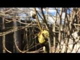 Пчёлка на иве. Весна 2018