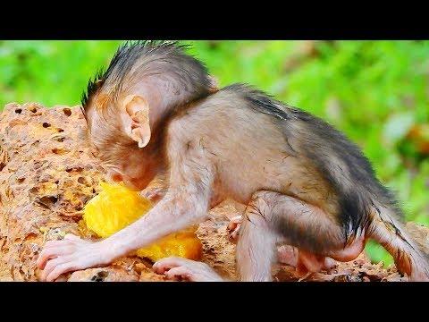 Jill Scare Jessie Catch Her Baby Monkey Brutus Jr, Newborn Brutus Jr Walking