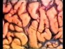 1 о головном мозге