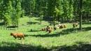 Scottish Highland Cattle moving through savanna