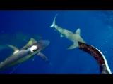 Отбивает пойманного тунца у акул (VHS Video)