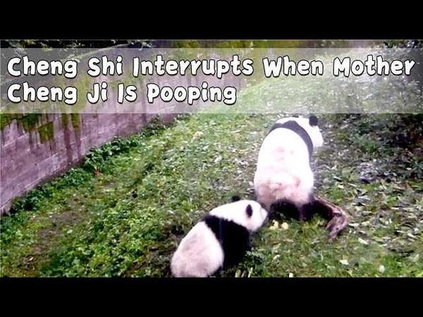 Cheng Shi Interrupts When Mother Cheng Ji Is Pooping | iPanda