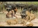 Male Buffalo saves the female buffalo from the Lions | Lion vs Warthog , anaconda ,eagle
