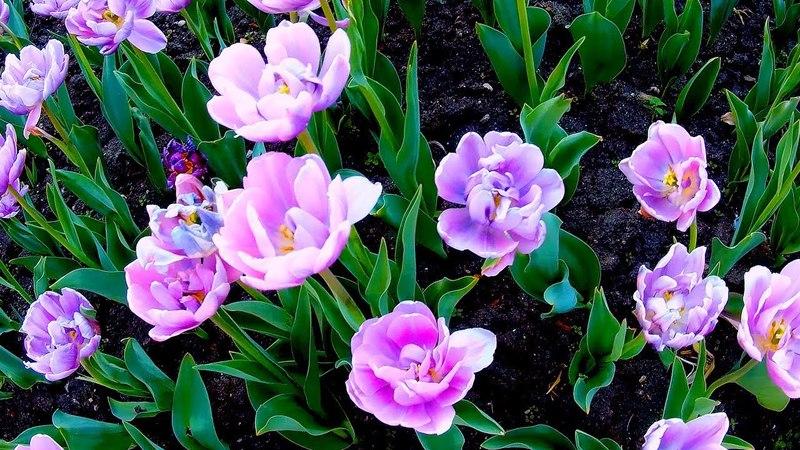 Лиловые Тюльпаны. Красивые Лиловые Тюльпаны. Красивые Цветы Тюльпаны Видео. Футажи для видеомонтажа