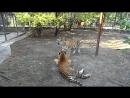 Парк львов Тайган Тигриные разборки