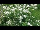 202 Неприхотливые кустарники которые украсят ваш сад