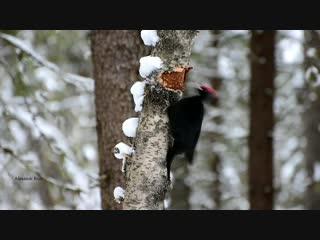 Желна добывает пропитание.#видео #птица #коми #дятел #желна #красота #очарование #природа #зима #декабрь #россия