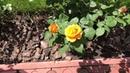 Розы Лучшие сорта Tantau David Austin Meilland