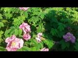 Два шмеля, один цветок