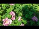 Два шмеля один цветок