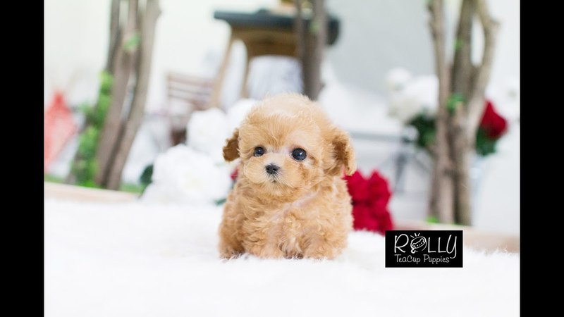 Adorable Cream Poodle True Doll Face D Uggi - Rolly Teacup Puppies