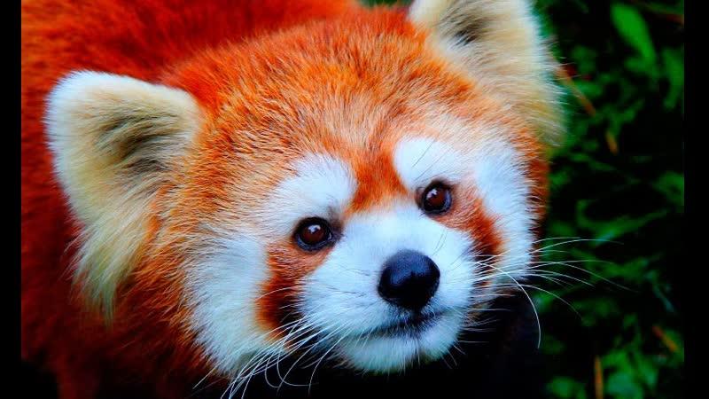 Shere.Khan - Красная Малая Panda