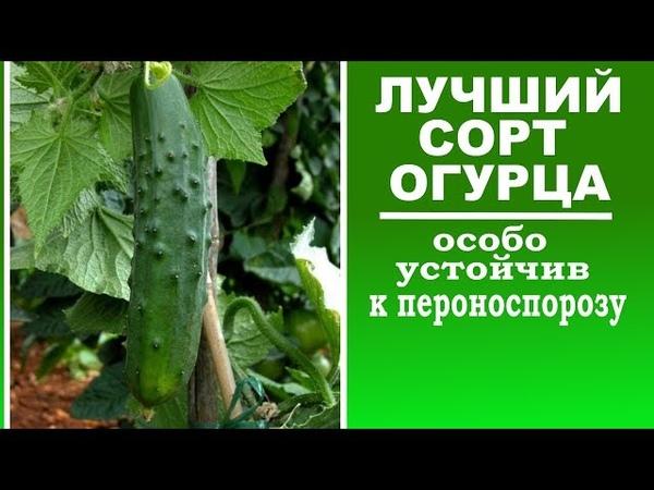 Лучшие сорта огурцов устойчивых к пероноспорозу Посадите этот огурец для обильного урожая