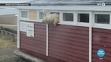 Polar bear escaping hotel