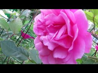 8209 молодая плетистая роза и клематис
