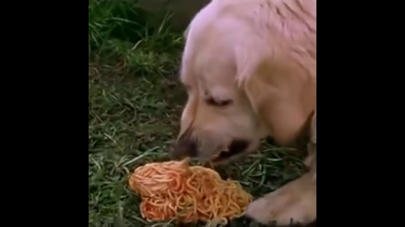 A Dog Vomits spaghetti