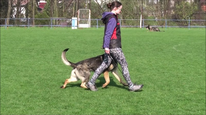 Qvida Alta Escuela tracking obedience protection 14 m