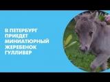 В Петербург приедет миниатюрный жеребенок Гулливер