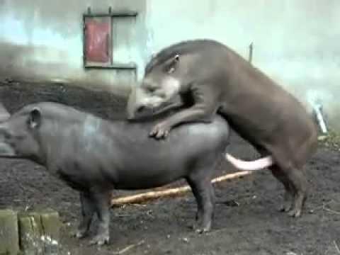 Tapirs Breeding and Making more Piggys