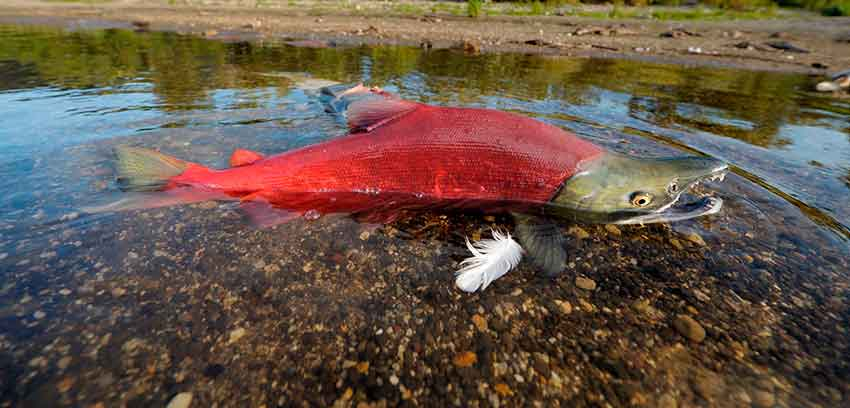 Что такое красный лосось?