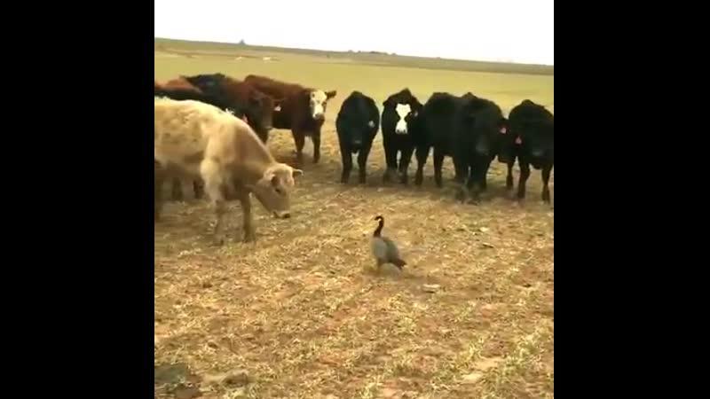 Главное в жизни не трусить и тогда любые быки отвалят😉