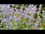 Многолетники в саду. Лаванда замечательна для сада, цветника. А знаете почему