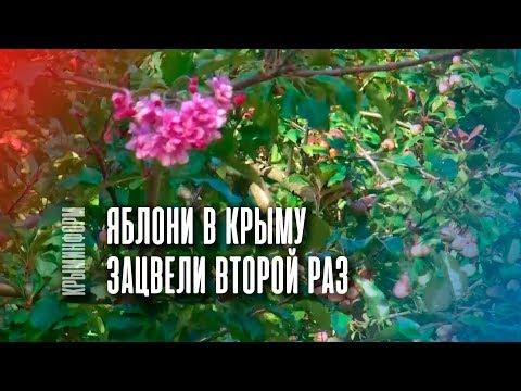 Яблони зацвели в Крыму во второй раз за год
