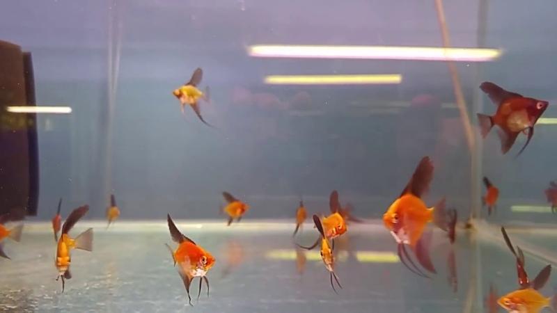 Hybrid Red Paraiba Angelfish
