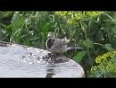утро птенчик купается в бочке