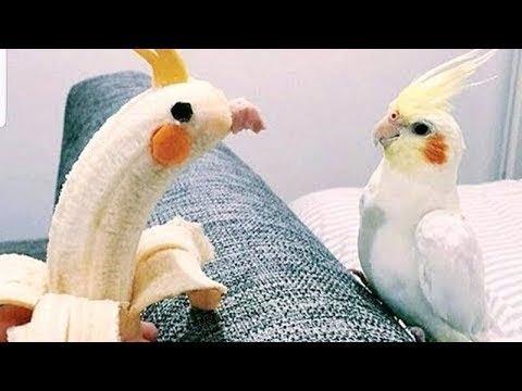 사람들이 앵무새를 키우는 이유 2018 웃긴영상 ㅋㅋㅋㅋㅋ
