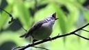 Буроголовая юхина Taiwan Yuhina angry bird snging