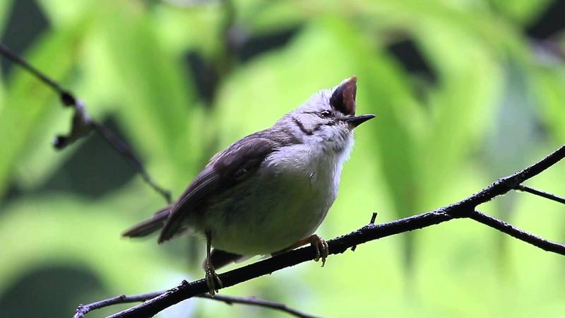 Буроголовая юхина Taiwan Yuhina (angry bird snging)
