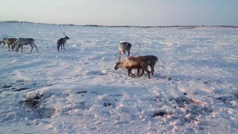 олени на зимнике