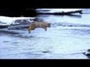 Прыжок рыси