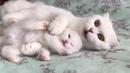 Белые шотландские вислоухие котята и кошечка скоттиш фолд - прикольное видео с котами 2019