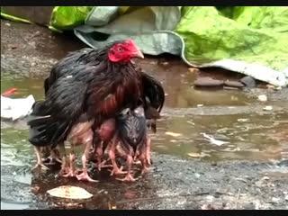 Женские Хитрости () - мамы животных.