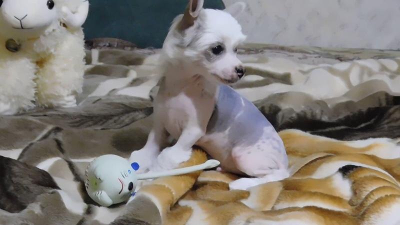 Продаётся щенок №1 китайской хохлатой собаки - мальчик голый бело-чёрный.