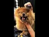 Hatchi legit like a little Lion!