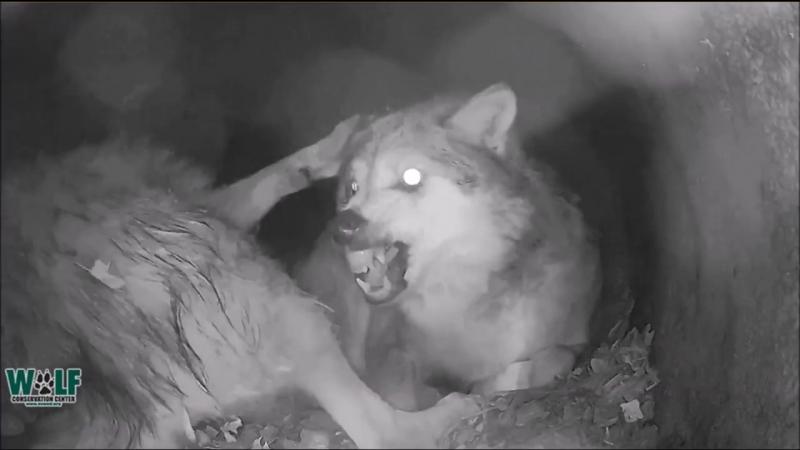 Волчье логово ...