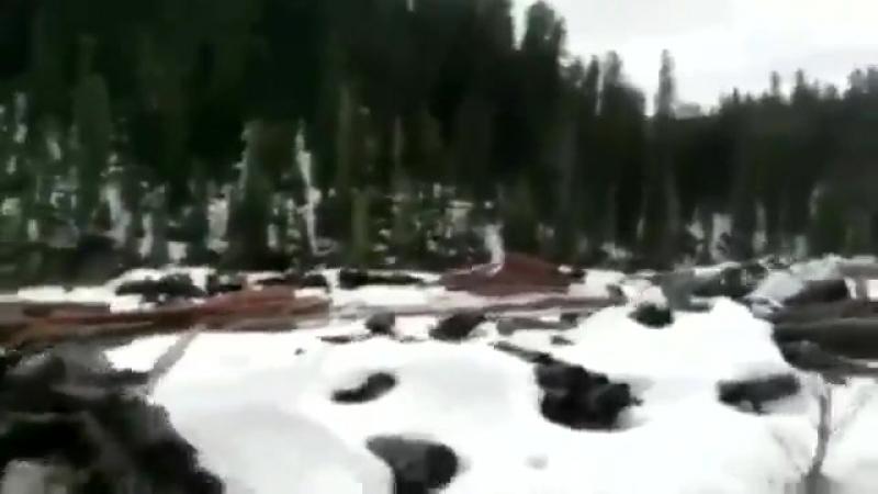 В Горном Алтае уничтожается и вывозится в Китай кедровый лес. Три четверти ценно