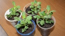 Шикарные хризантемы шарики Как вырастить хризантему мультифлору из черенка